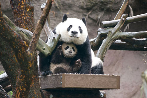 Bai Yun and cub