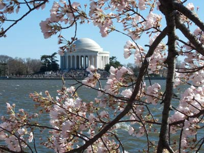 Cherry Tree Blossoms & Jefferson Memorial